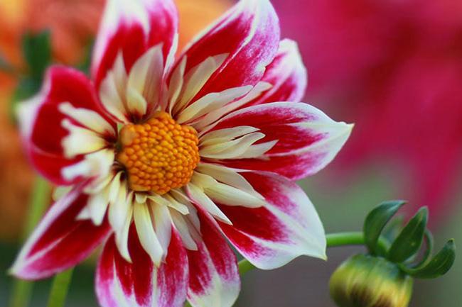 как выращивать однолетние георгины из семян