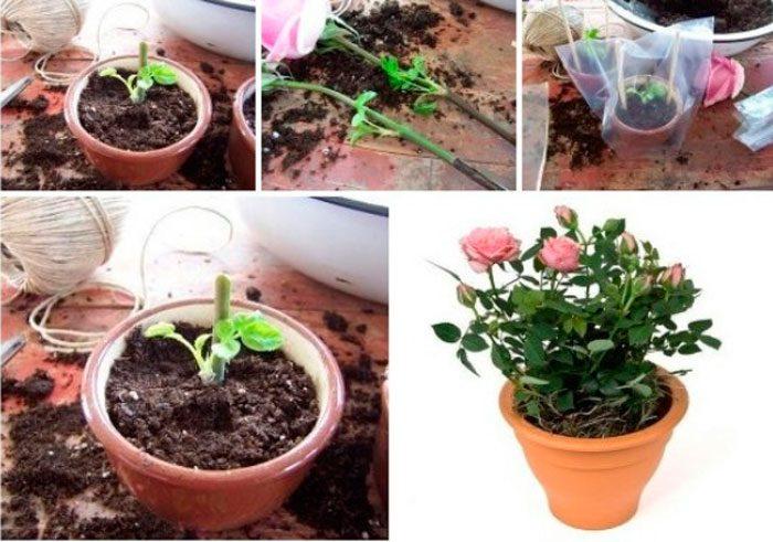 как посадить розу из букета в домашних условиях