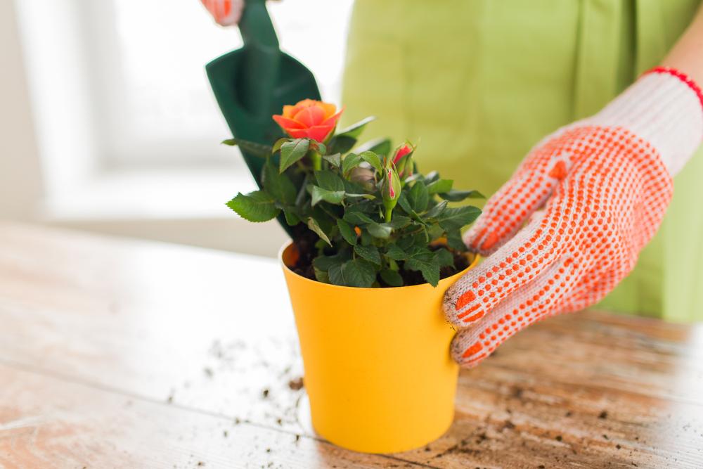 Можно ли из срезанной розы вырастить куст