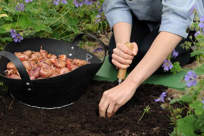 как сажать гладиолусы весной