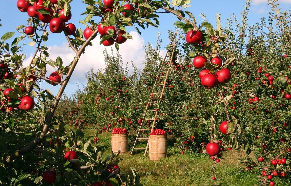 сорта яблонь для центральной России