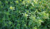 Как выращивать майоран на садовом участке?