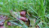 Как избавиться от садовых слизней ?