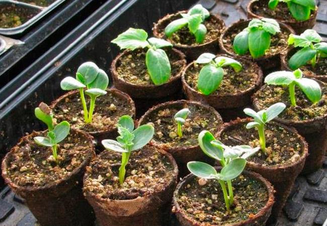 Рекомендации как вырастить арбуз на даче