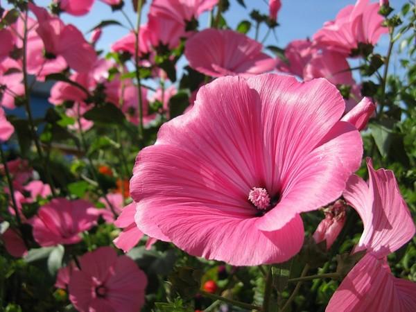 Цветок лаватера