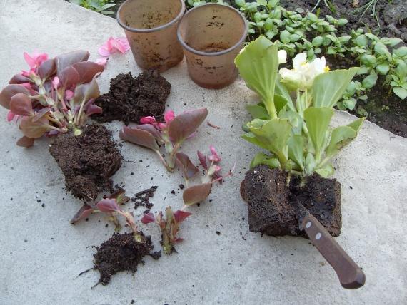 Бегония садовая