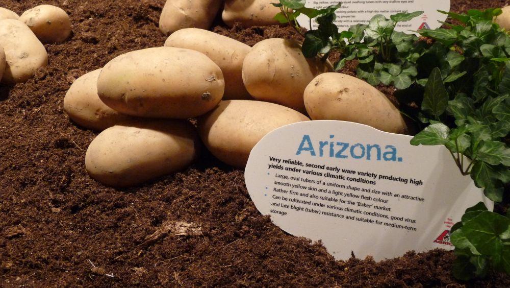 урожайные сорта картофеля