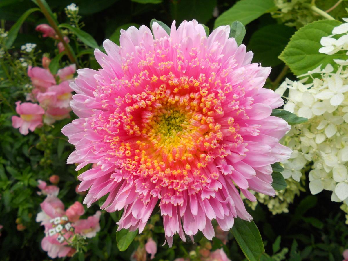 Астры садовые цветы фото