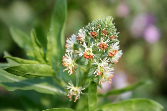 цветок резеда
