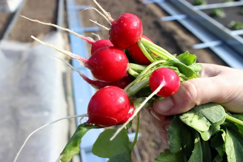 Как получить семена редиса и правильно их сохранить
