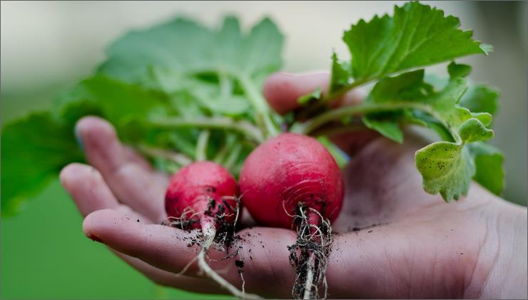 как выращивать редис правильно