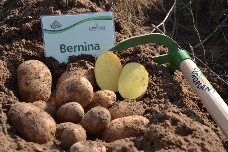 сорт картофеля Бернина