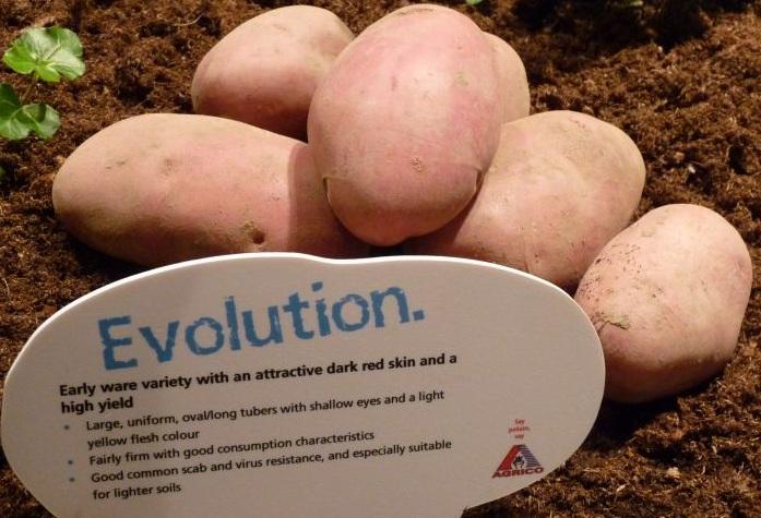 Картофель Голландский Эволюшен