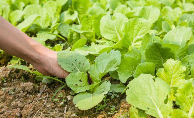 Как выращивать пекинскую капусту на даче