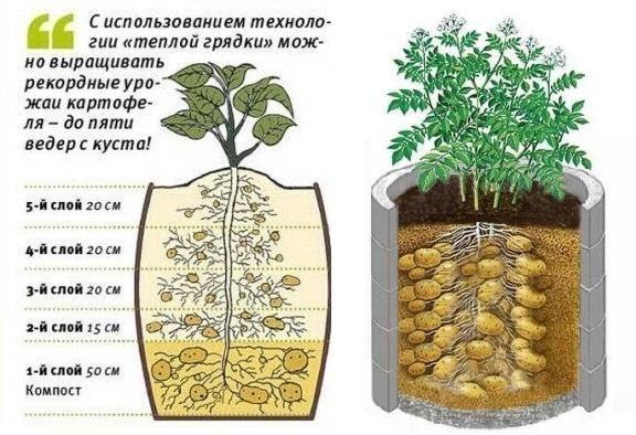 необычные способы выращивания картофеля