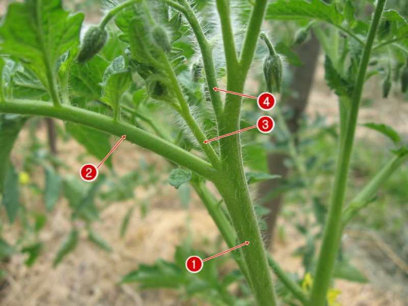 пасынки у помидор