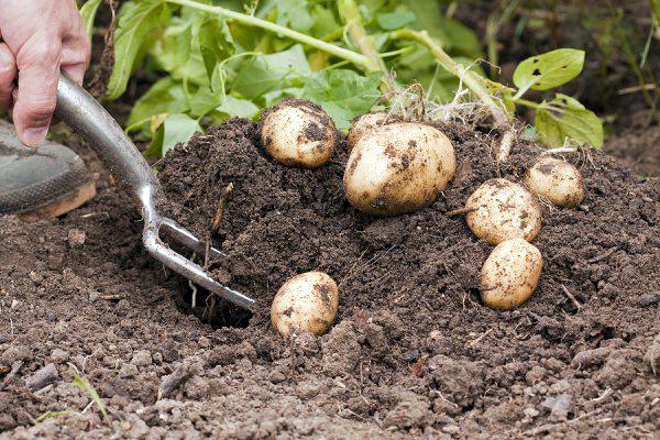 выкапывать картофель по лунному календарю в 2018 году