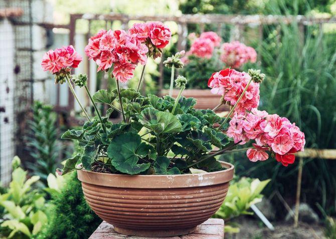 Пеларгония не цветет
