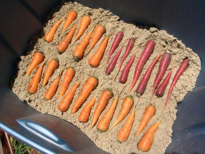 Когда копать морковь на зиму