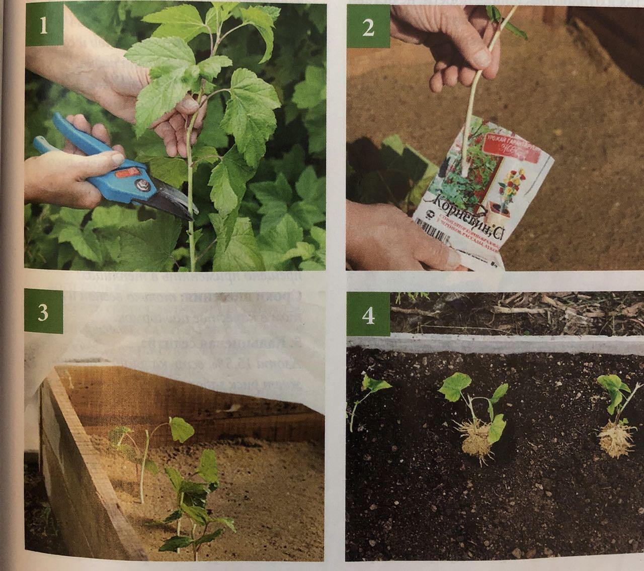 как посадить черную смородину черенками осенью
