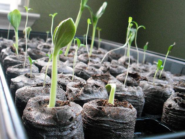 как выращивать рассаду кобеи