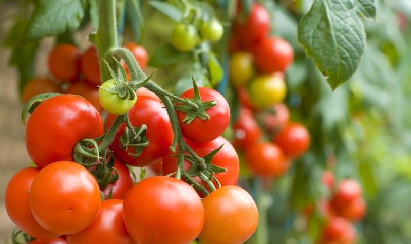 Как выращивать томаты по лунному календарю в 2019 году?