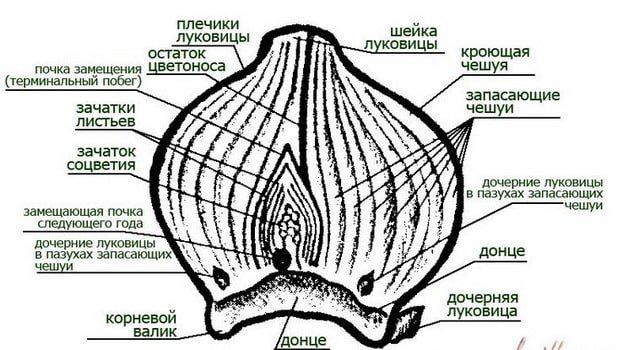 Как выбирать луковицы тюльпанов