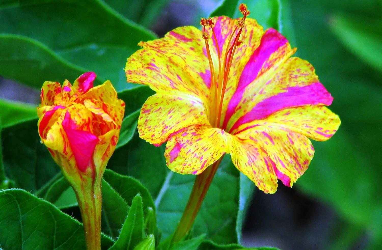 Показать картинки цветов ночная красавица