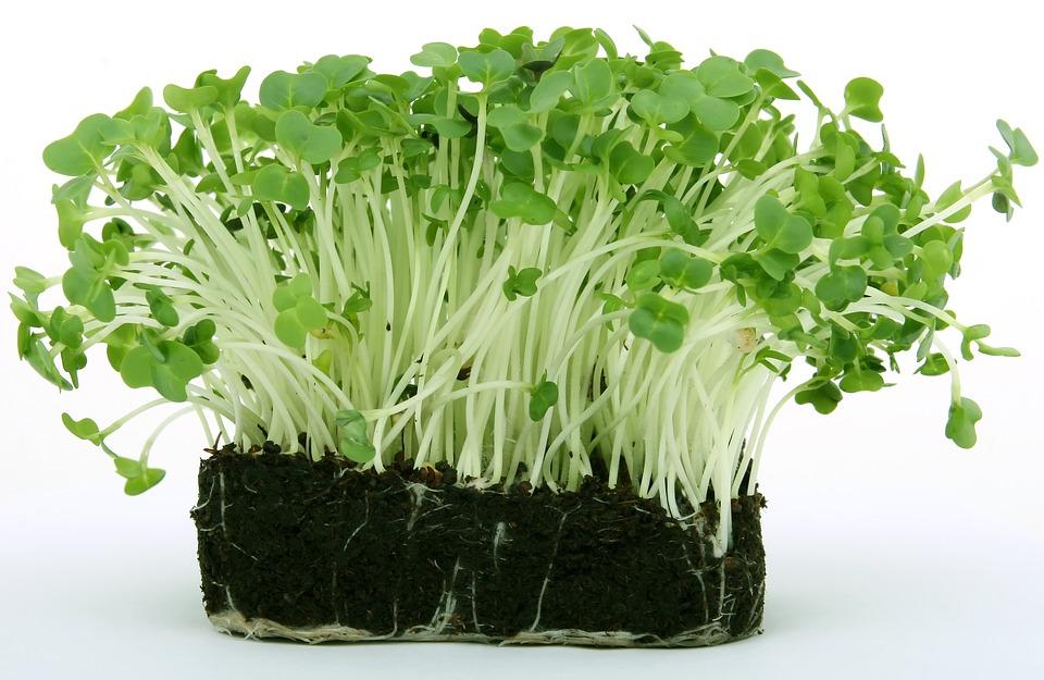 Кресс-салат: виды, методы выращивания