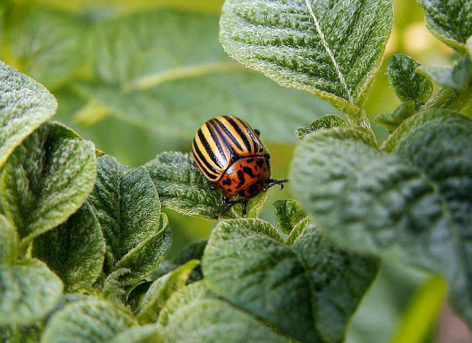 Как бороться с колорадским жуком