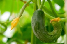 почему огурцы растут уродливыми