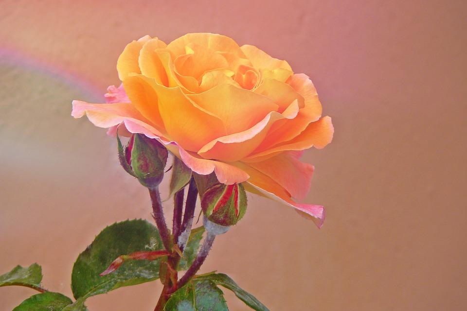 почему у розы краснеют листья