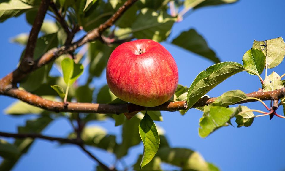 Померзла ли яблоня зимой
